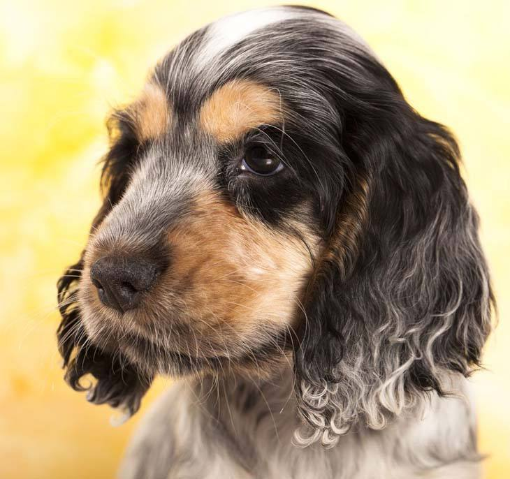cocker spaniel puppy looking for trouble