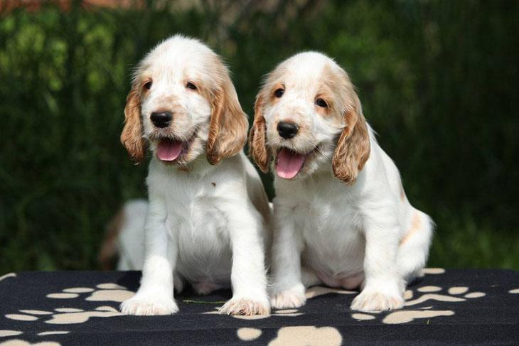 two cocker spaniel puppies looking for trouble