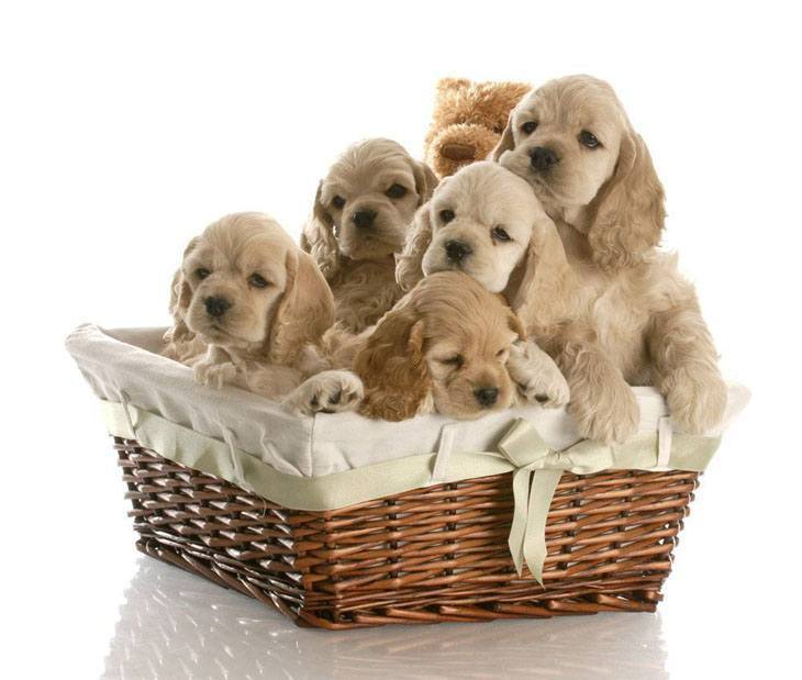 cocker spaniels in a basket having fun