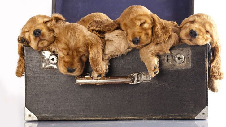 cocker spaniel pups taking a nap