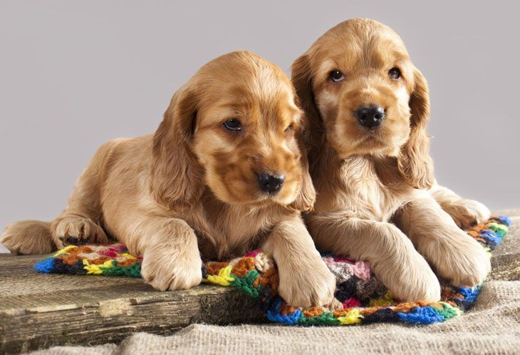 two cocker spaniel puppies that look bored