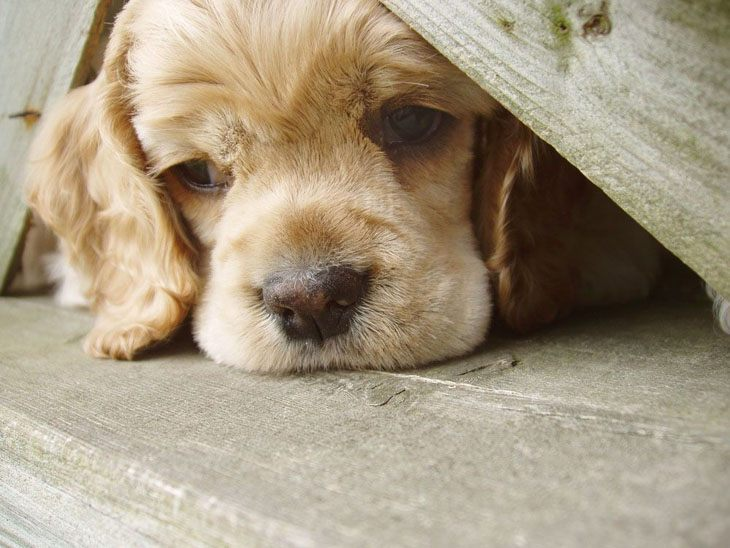 lonely cocker spaniel puppy