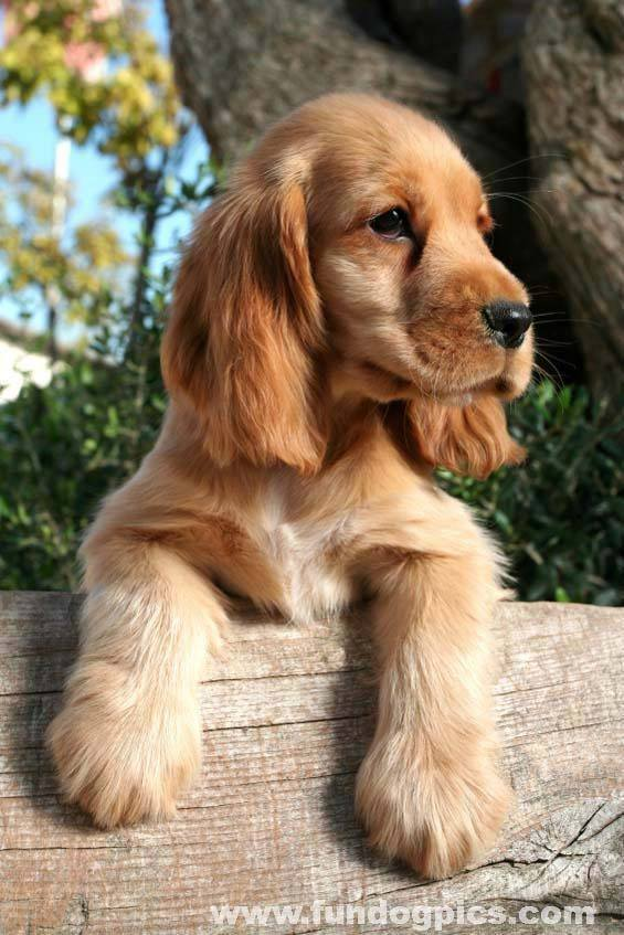 cocker spaniel looking for someone to play with