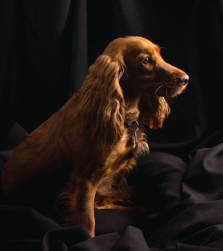 beautiful cocker spaniel picture