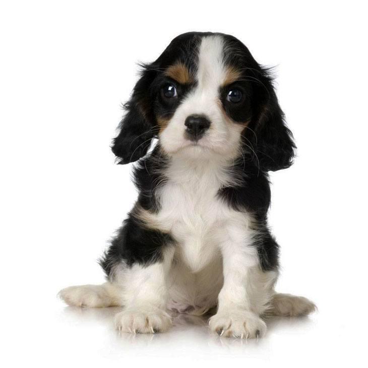 cocker spaniel dog looking for a hug