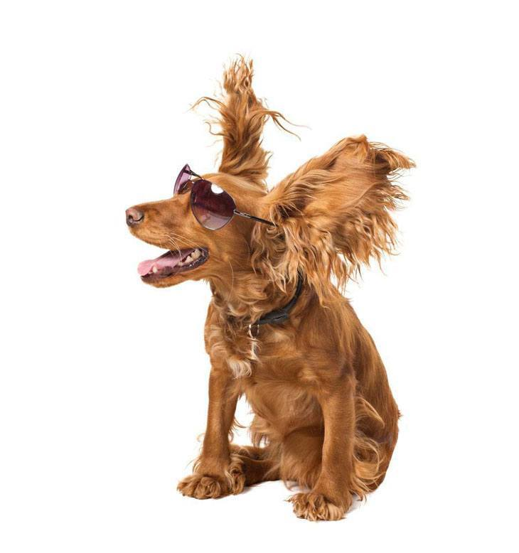 cocker spaniel getting blown by the wind