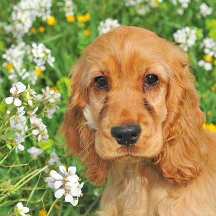 cocker spaniel puppy looking for a friend