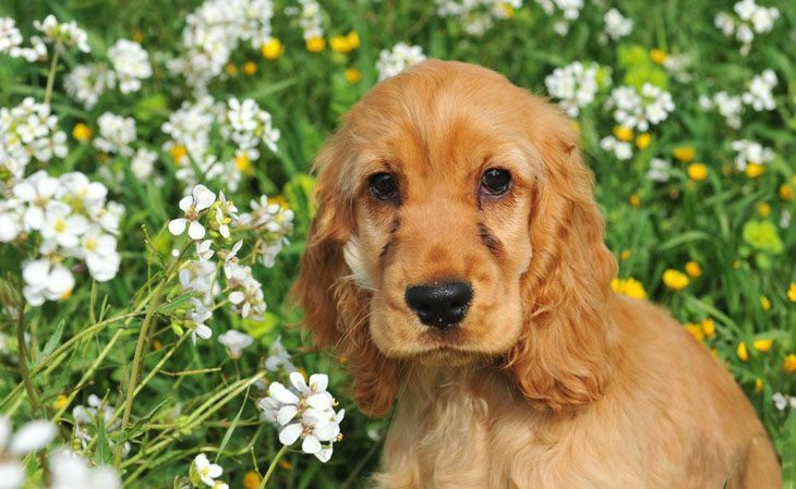 cocker spaniel out in the flowers