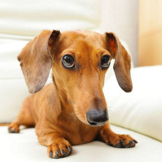 dachshund dog with a guilty look