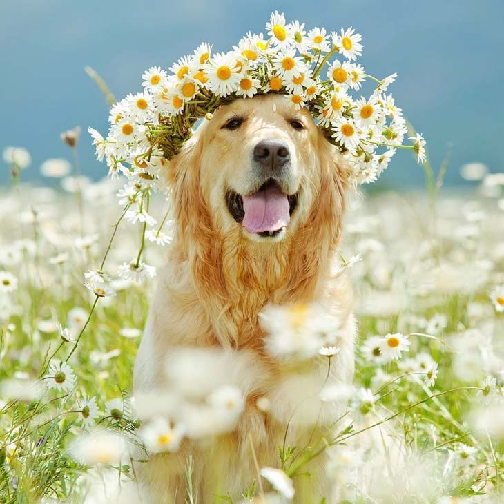 golden retriever with flowers in it's hair
