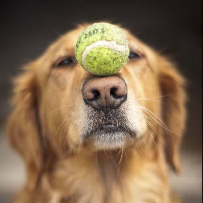 golden retriever balancing ball on nose