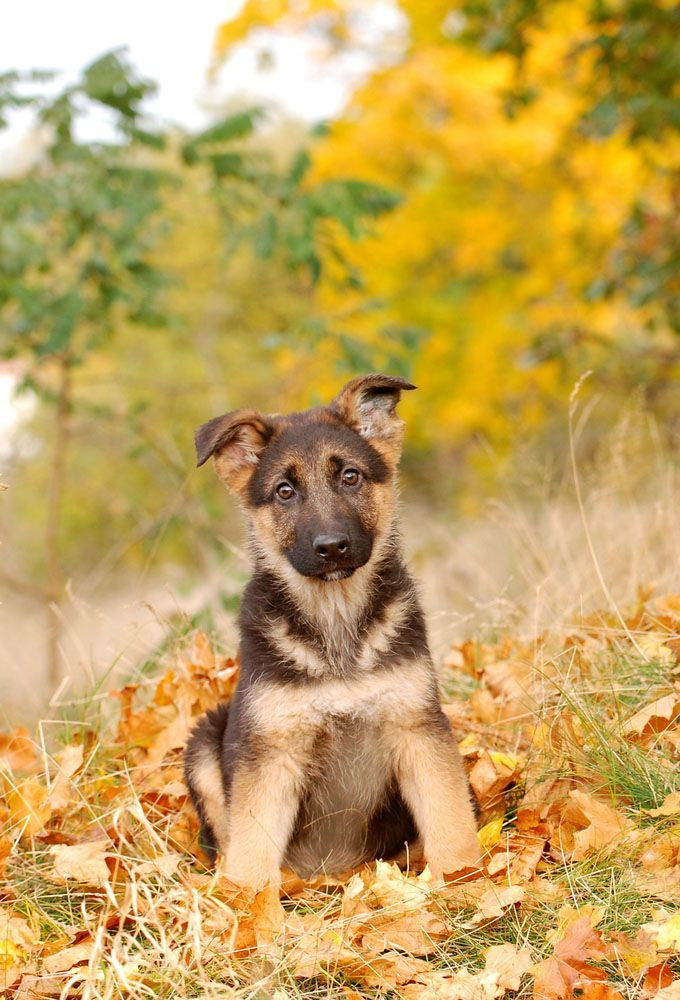 german shepherd puppy wants to know what you're looking at