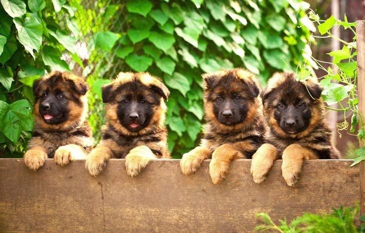 four cute german shepherd puppies