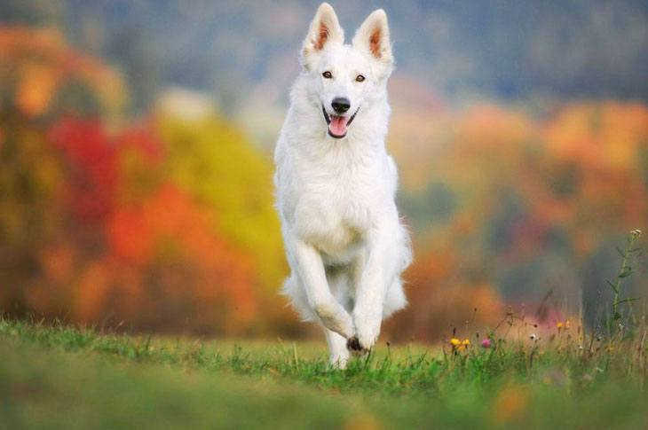 white german shepherd running in the park