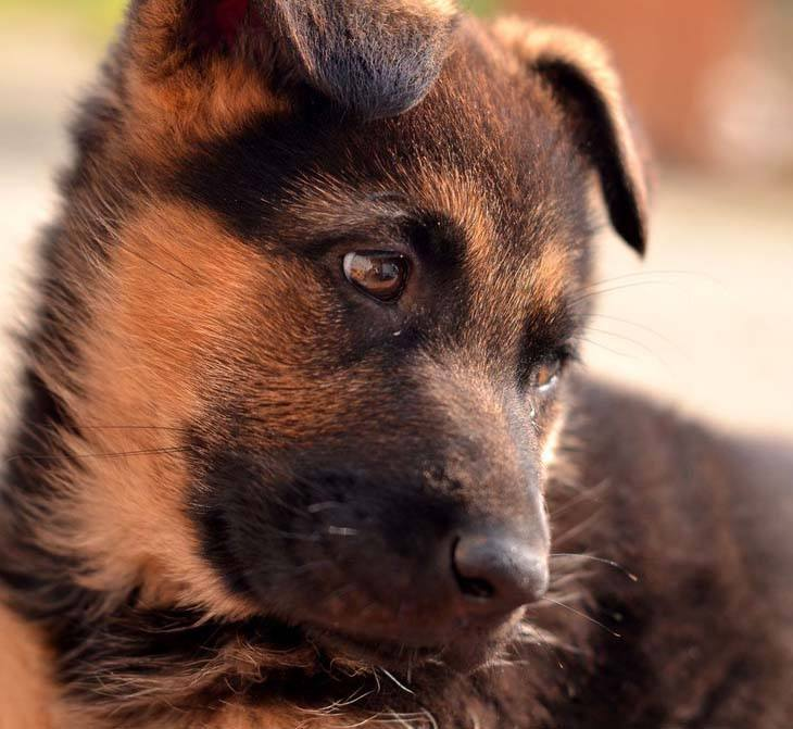 cute german shepherd puppy relaxing