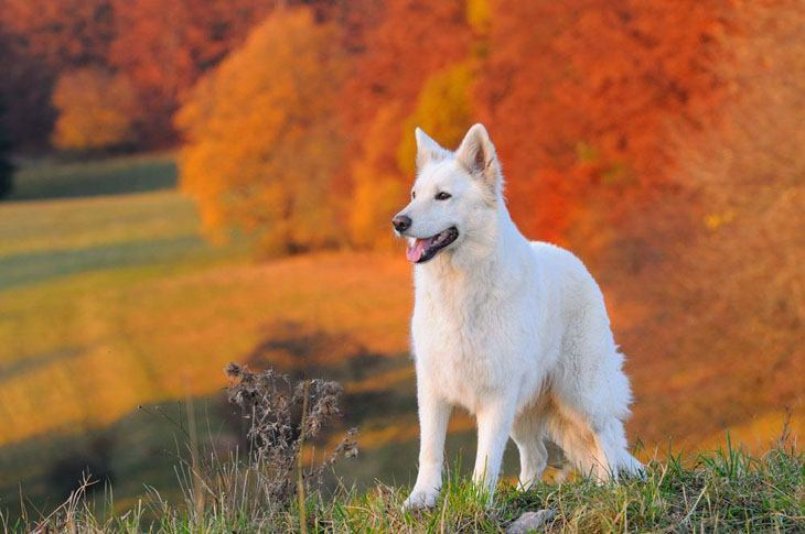 white german shepherd that loves the fall time