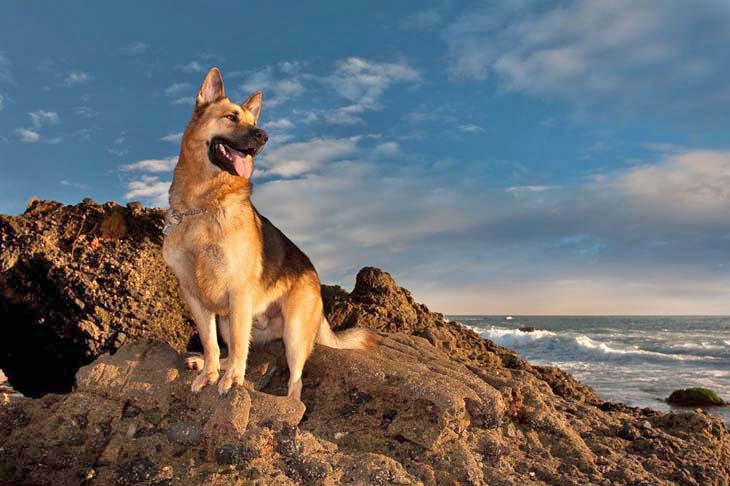handsome german shepherd at the beach
