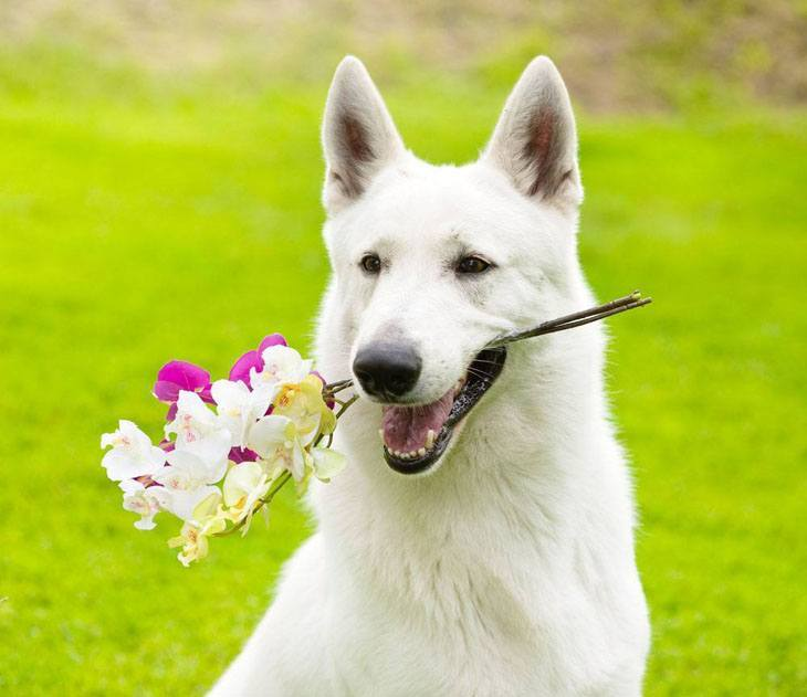 white german shepherd holding flowers