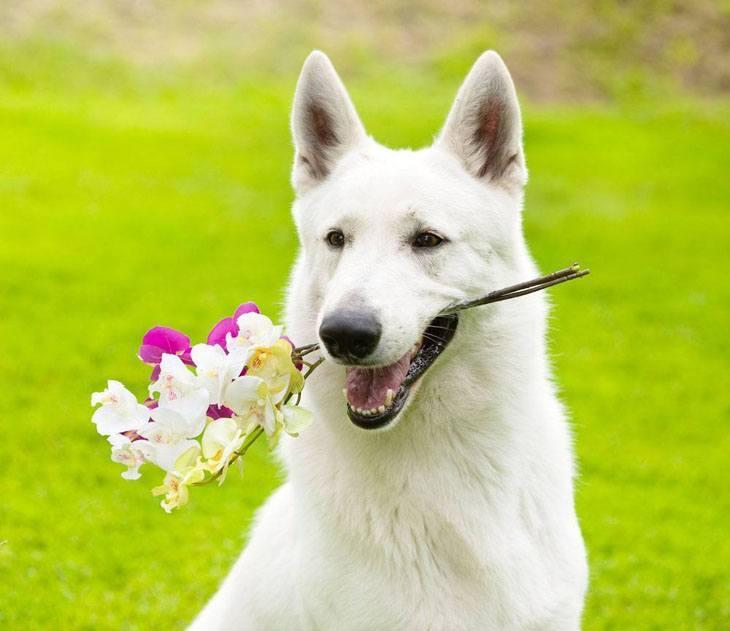 white german shepherd holding flowers