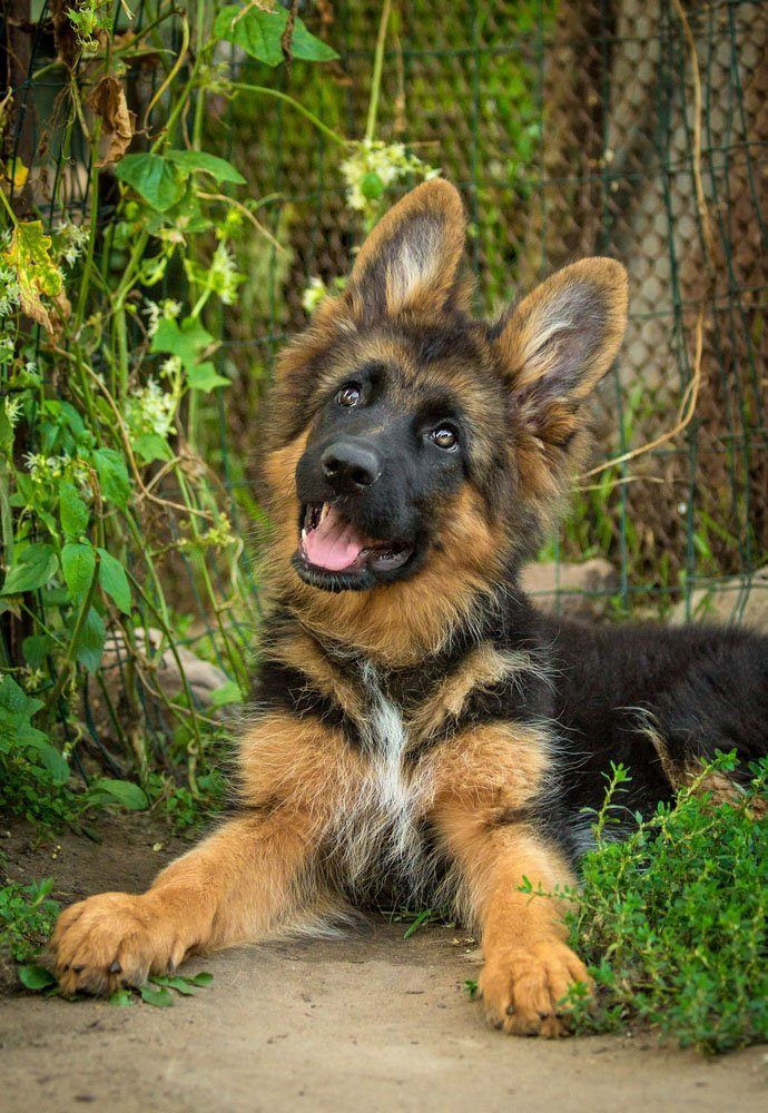 german shepherd puppy waiting for the cat