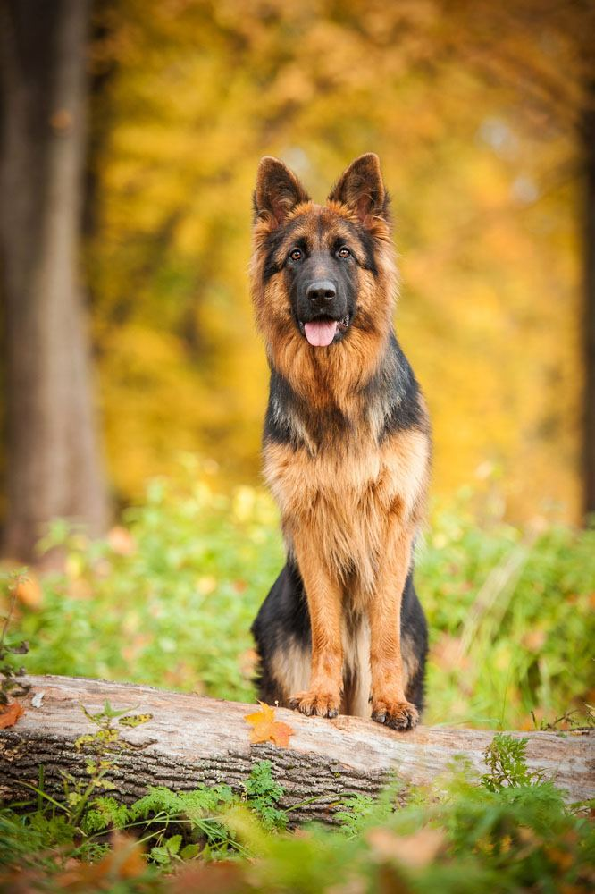 german shepherd in the forest