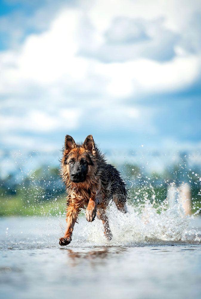german shepherd running at the beach