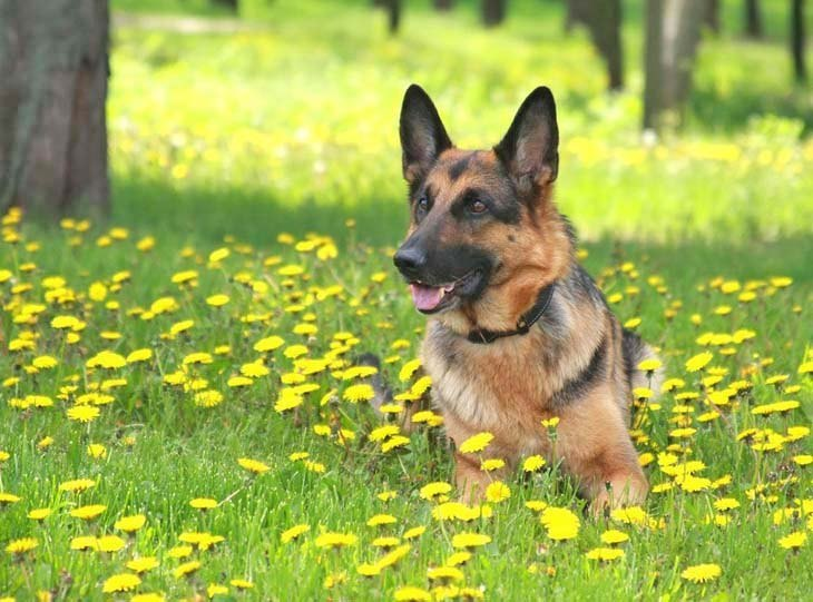 german shepherd relaxing in a meadow