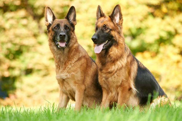 two german shepherds looking for some fun