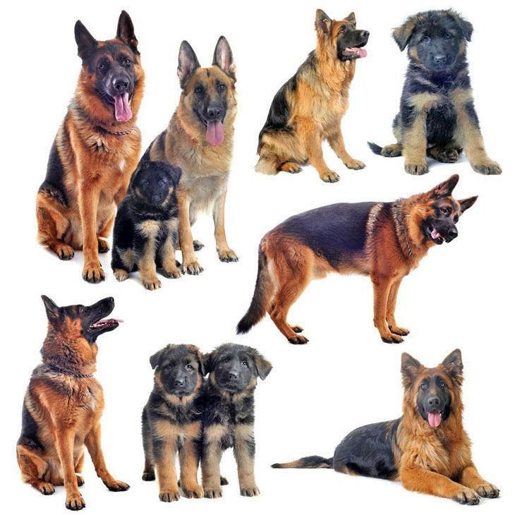 montage of multiple german shepherds