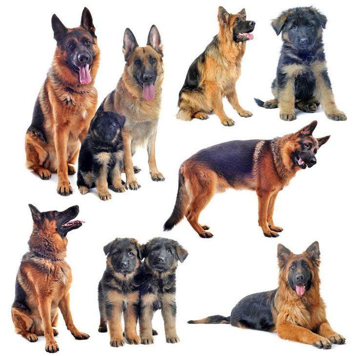 montage of multiple german shepherds