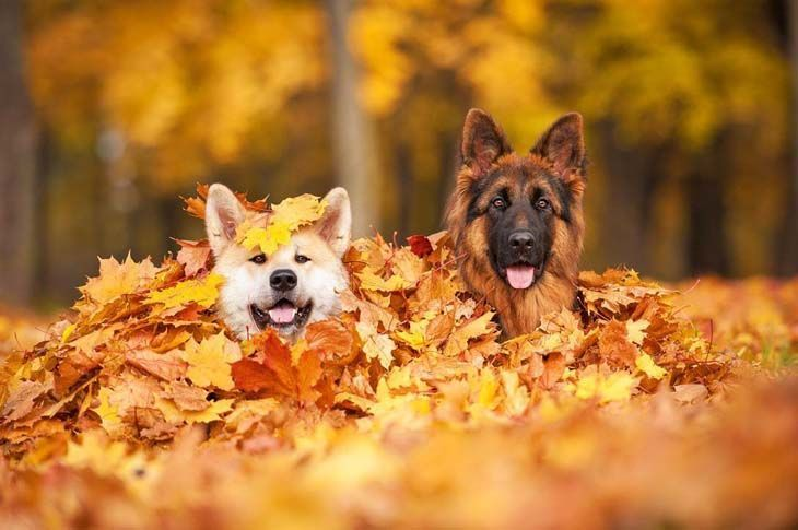 german shepherd puppies romping in the leaves