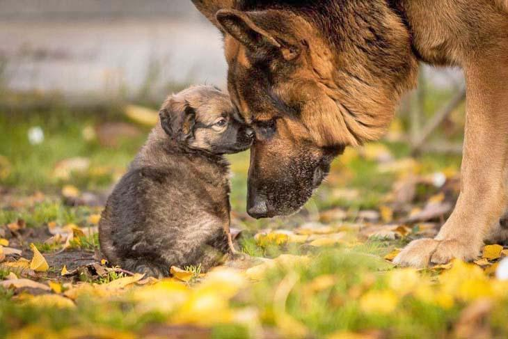 german shepherd puppy having a talk with it's mother