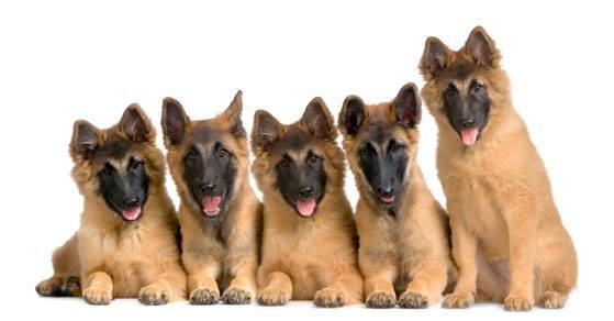 five german shepherd puppies ready to have some fun