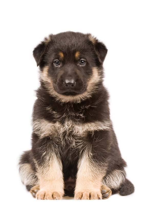 german shepherd puppy  hoping you'll share some of what you're eatting