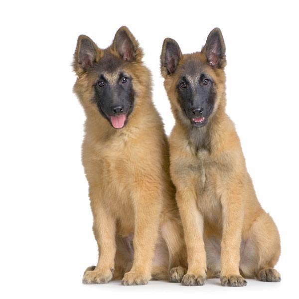 german shepherd puppies watching you