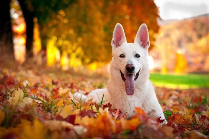 white german shepherd enjoying the fall time