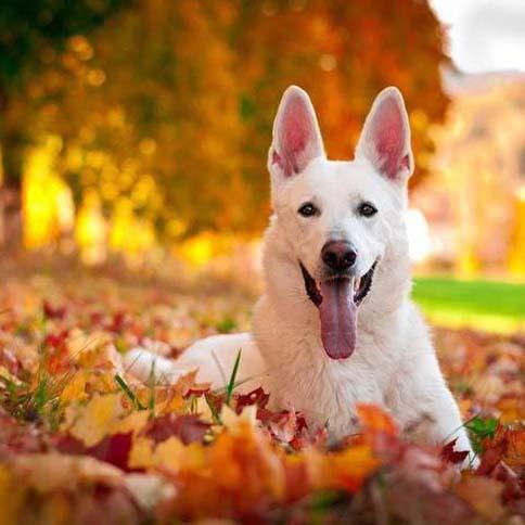 white german shepherd in fall leaves