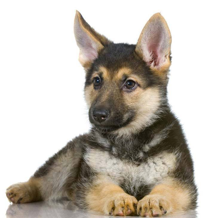 german shepherd puppy being cute