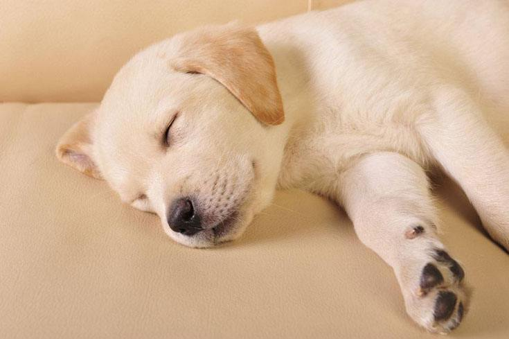lab puppy taking a nap after playtime