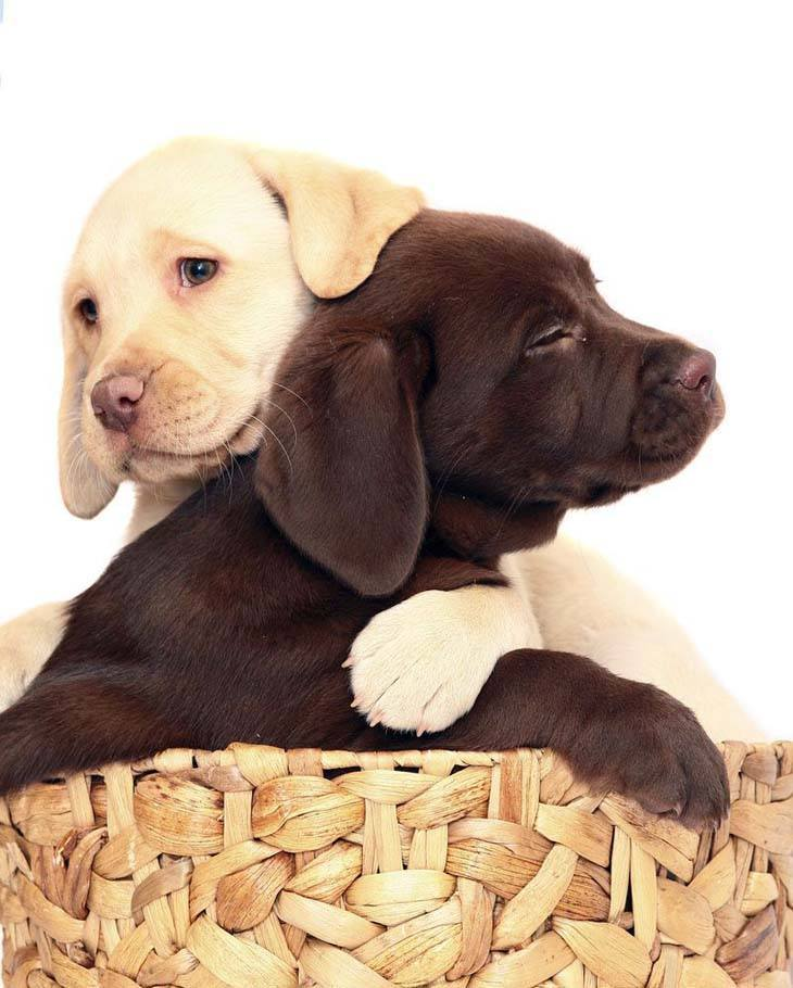 two lab puppies that are in love