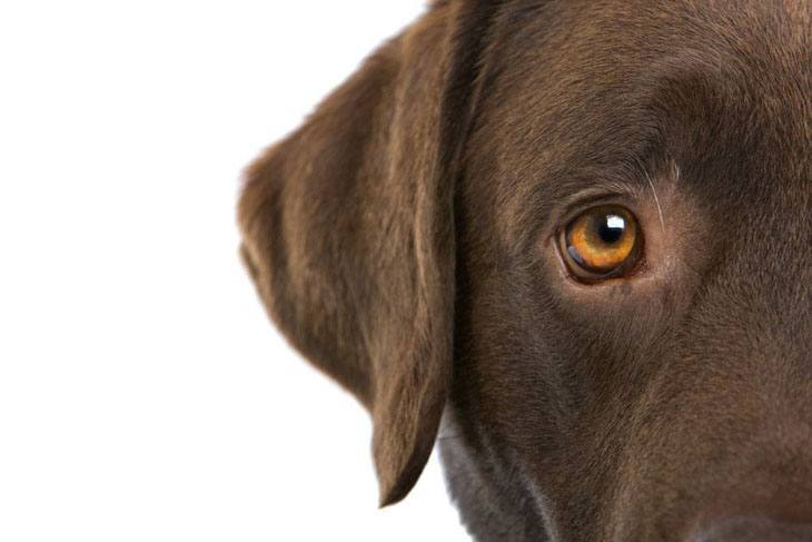 close up view of a chocolate lab