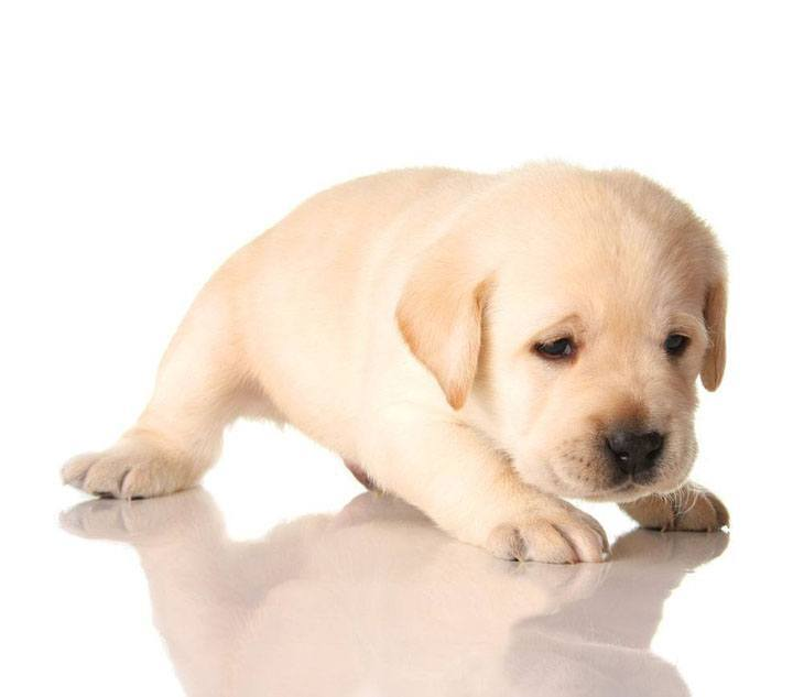 lonely lab puppy looking for a friend