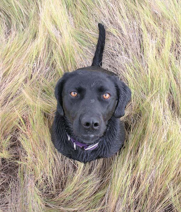 black labrador retriever that just finished a swim