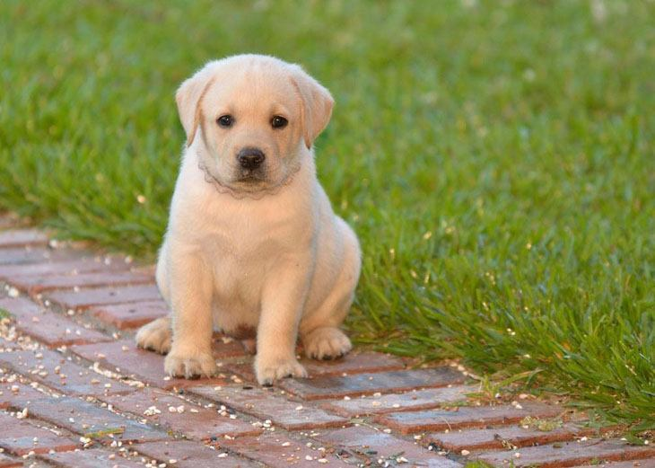 cute lab puppy wants someone to play with