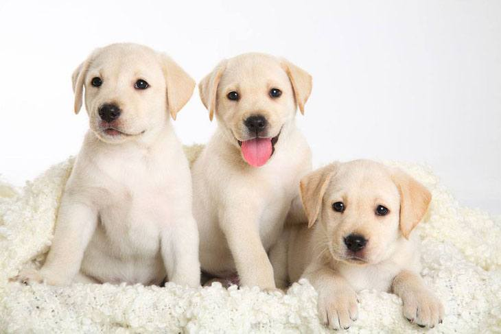 labrador retriever puppies  that can't wait to play