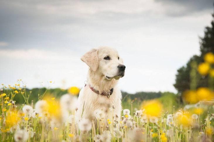 yellow lab enjoying the outdoors