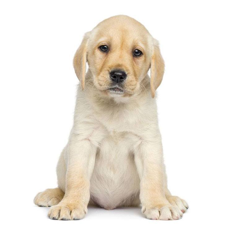 yellow lab puppy waiting to be fed