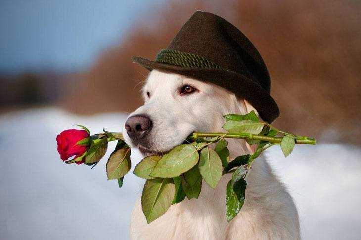yellow lab with a rose