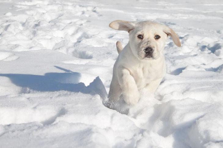 young lab puppy running thru snow