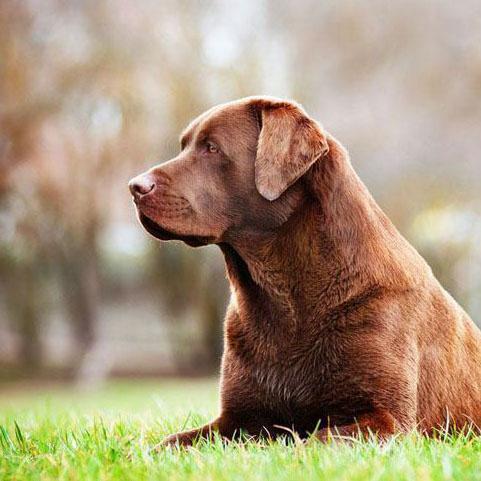 Labrador retriever laying in field